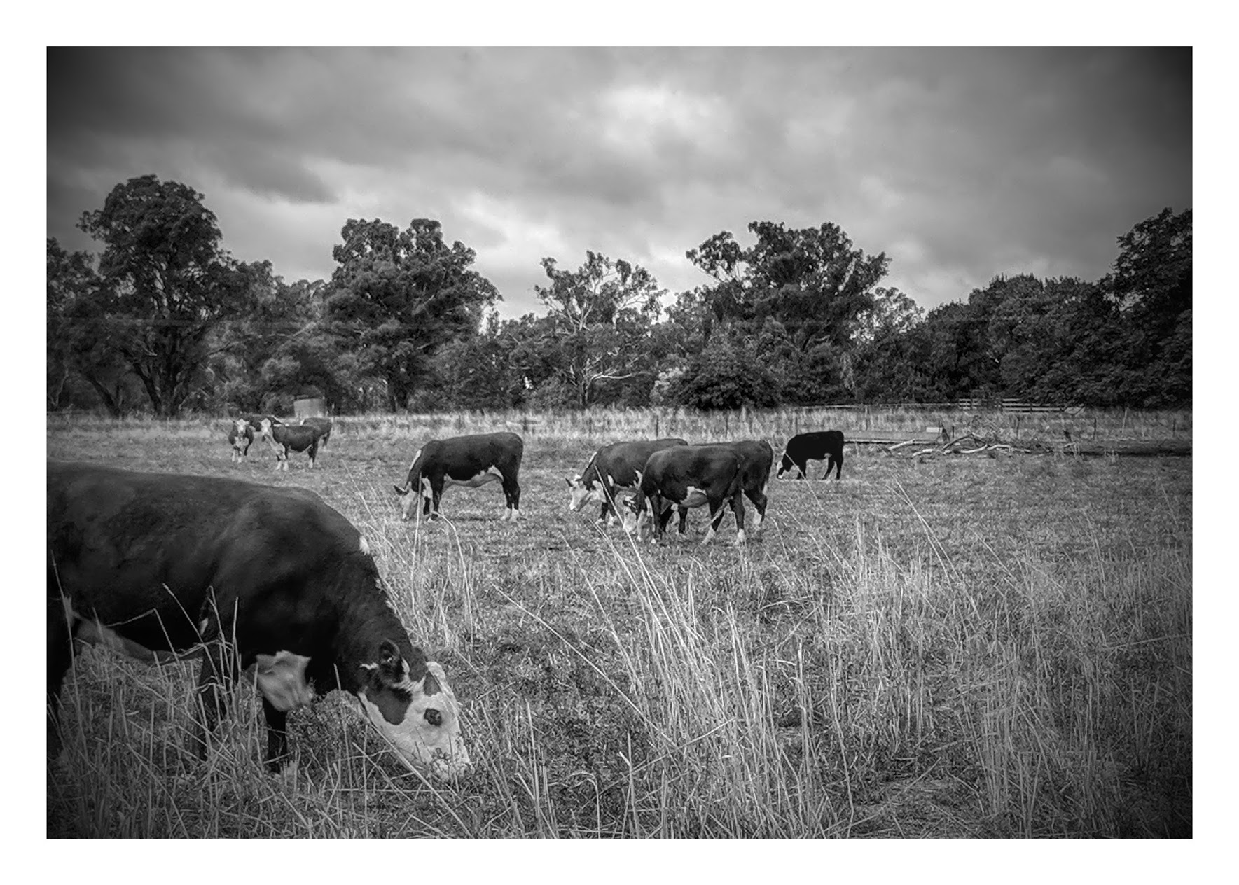 Cattle in Australia.
